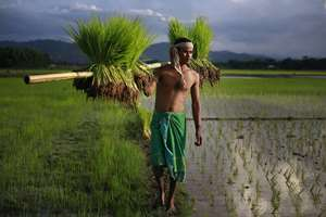 A farmer carries paddy for transplantation on the outskirts of Guwahati.