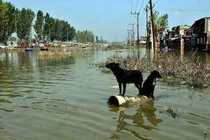 Two stray dogs sit on a pipe in a flooded locality on the outskirts of Srinagar.