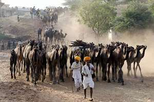 Herders arrive at the cattle fair ground during Pushkar Camel fair.