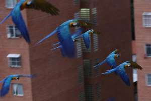 Macaws fly over the city in Caracas, Venezuela. Macaws are thriving amid the high-rises and traffic of Caracas thanks to a group of amateur birders who feed them and watch out for their nests.