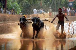 A participant during the Kambala, a traditional buffalo race after the ban on the sport was lifted by the high court, in Mangalore.