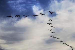 Migratory Ruddyshell ducks fly in formations in Sivasagar district, Assam.