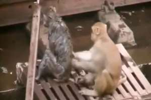 A heart warming video grab showing a monkey saving another monkey's life after it became unconscious on being electrocuted while walking on high tension wires in Kanpur railway station, Uttar Pradesh.
