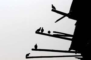 Pigeons sit on bamboo poles jutting out from a damaged house in Bhaktapur, Nepal.