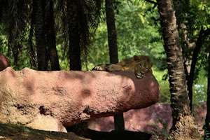 A Lion rests inside an enclosure on a hot weather at Nehru Zoological Park in Hyderabad.