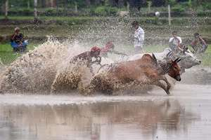 Farmers participate in a bull race at a paddy field in Canning village in South 24 Pargana district with a belief that participation before ploughing their fields will bring rain and a better harvest.