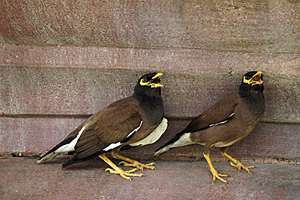 A pair of Myna in New Delhi.