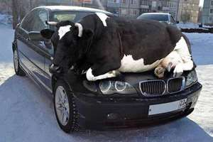 The police department in Surrey, United Kingdom released an image on their Twitter account showing a cow, lying down on the hood of a BMW. The picture was posted on the department's Twitter page with a caption that noted Remember as days get colder animals are attracted to the warmth of cars so check wheel arches or other hiding places.