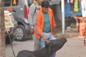 A VHP worker pulling ears of a cow while going for immersion of ashes of Ashok Singhal in Lucknow.